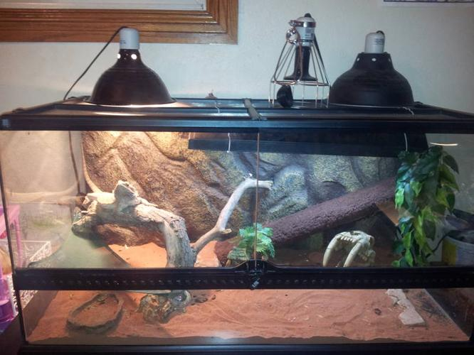 Friendly Bearded Dragon For Sale With tank