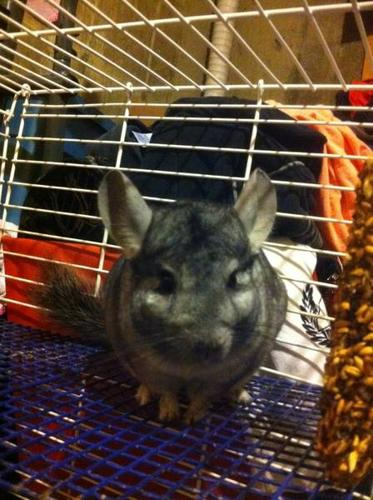 Friendly Chinchilla For Sale!! Need gone asap