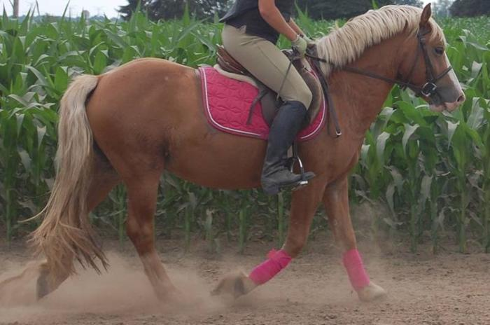 Fun, quiet haflinger gelding available for in barn lease