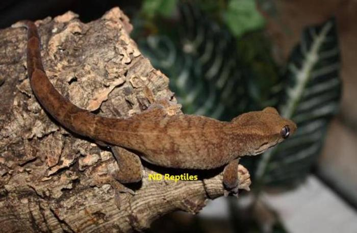 Geckos at Unbeatable Prices