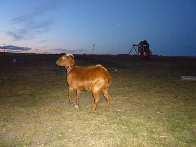 Goat four sale male and female in Beaverlodge
