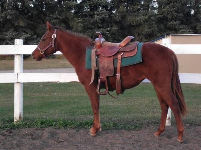 Gorgeous 2 yr old AQHA mares