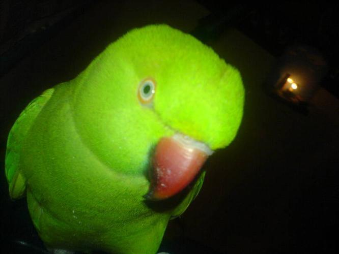 Green Indian Ringneck Parakeet!