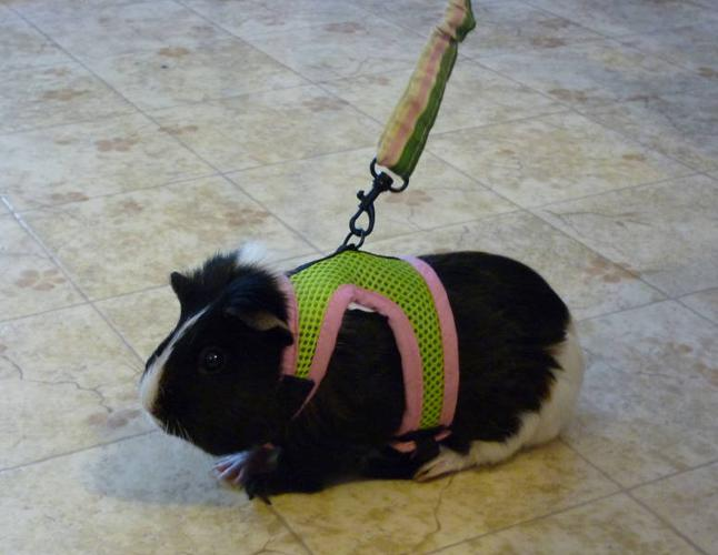 guinea pig harness and leash  guinea  get free image about