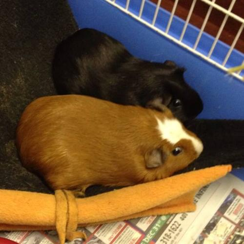 Guinea pig sisters for sale