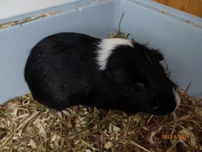 Guinea pig with large cage + supples