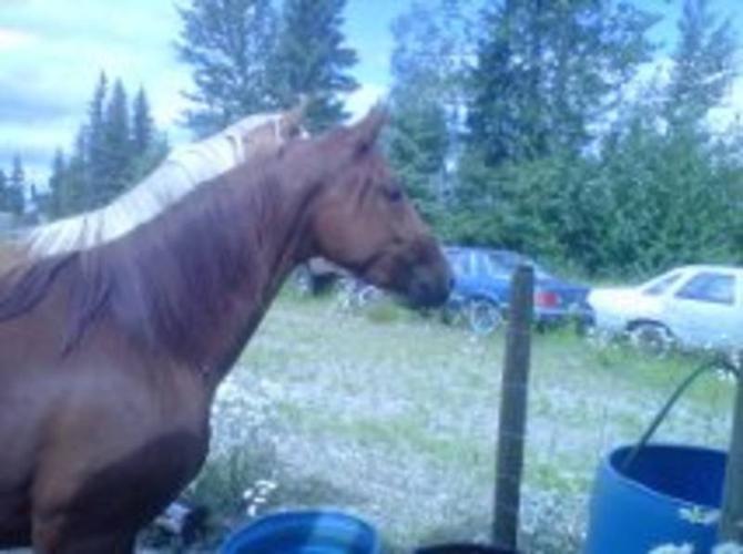 Half Quarter Horse Half Fox Trot Mare