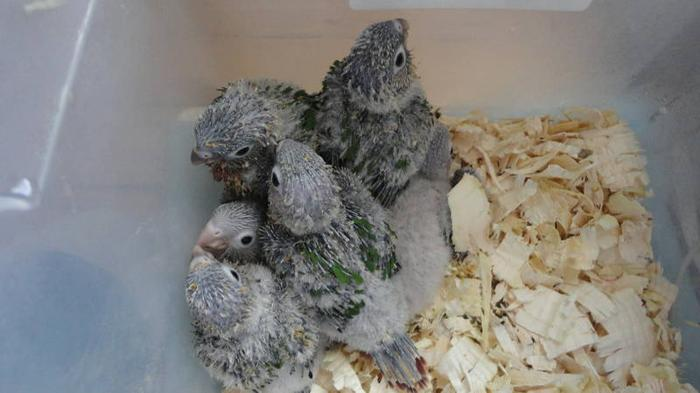 HAND-FED GREEN CHEEKED & YELLOW SIDE BABIES FOR SALE