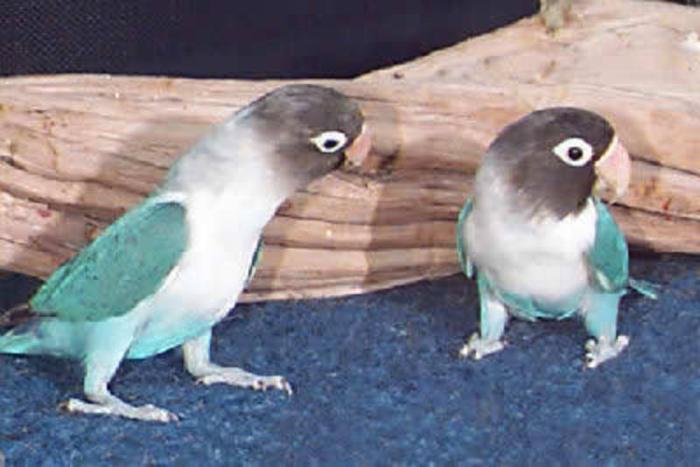 Hand raised fully weaned love bird babies