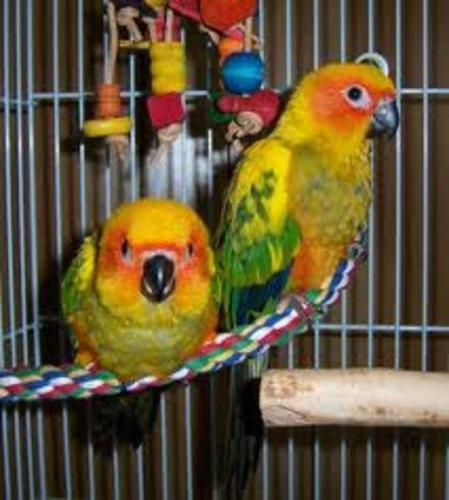 Hand raised fully weaned super friendly SUN CONURE BABIES