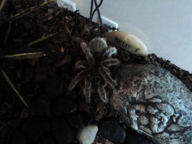 Hand Tame Tarantula