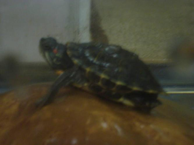 HEALTHY TURTLE FOR SALE WITH TANK & ACCESSORIES***,BRAMPTON