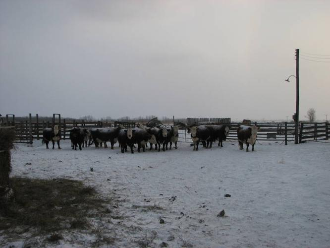 Heifers , Cows, and Bull For Sale ** Previous DEAL FELL THROUGH!