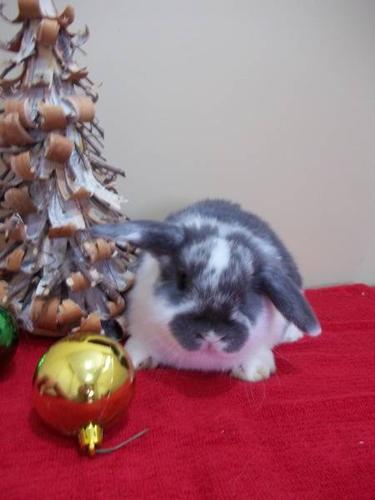 HOLLAND LOP BUNNIES - Ready for Christmas