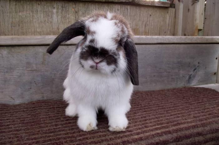 Holland Lop Bunnies For Sale In Springhill Nova Scotia Local Market Pets