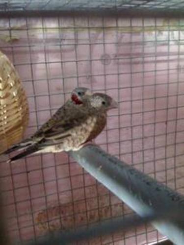 I am selling a beautiful pair of Cut throat Finch
