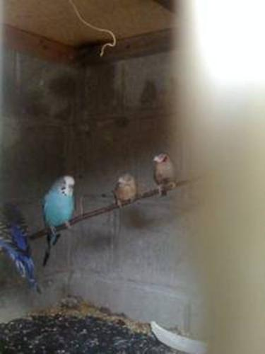 I am selling a beautiful pair of Cut throat Finches.
