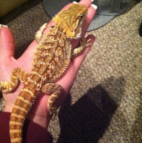 Juvenile bearded dragon for sale
