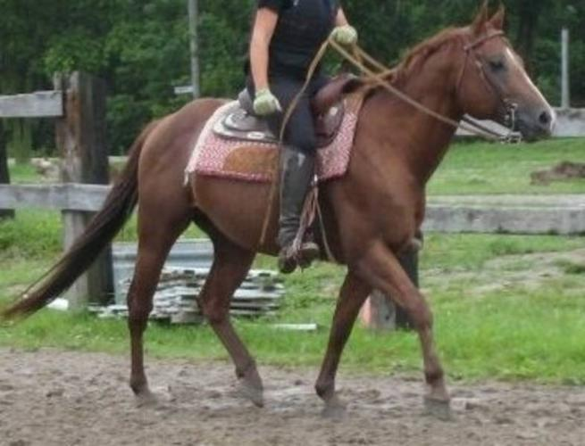 Large pony QH stallion available for sale or lease