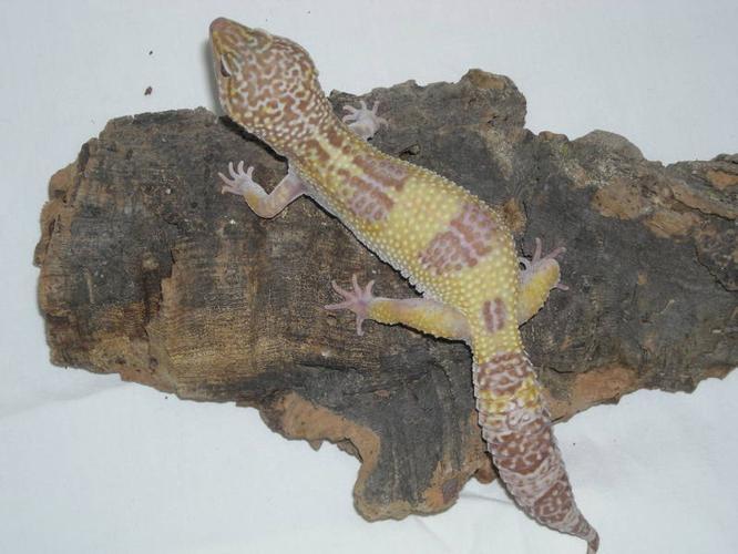 Leopard Gecko Breeding Group