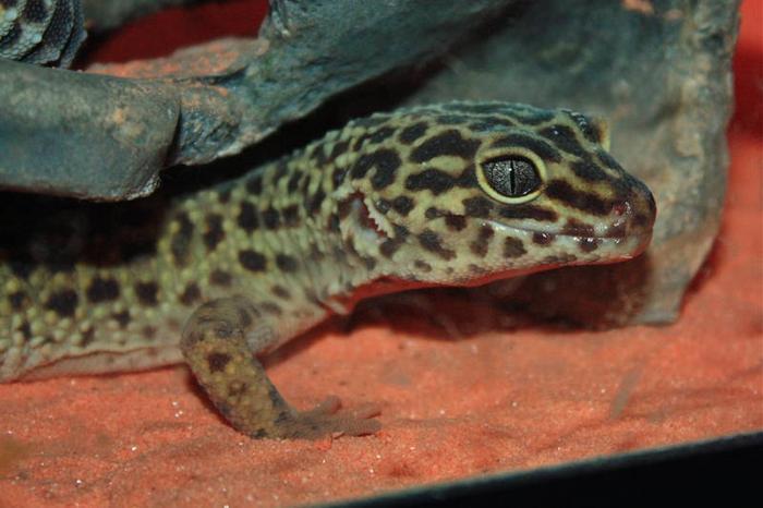 Leopard Gekko Gecco Gecko Lizards
