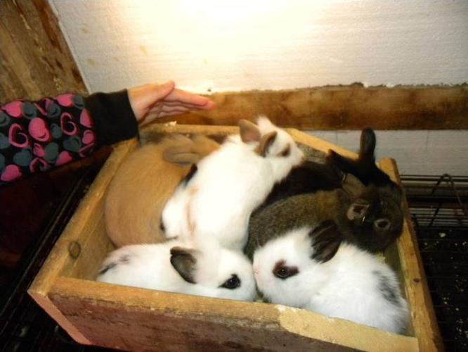 Lionhead / Jersey Wooley Bunnies For Sale
