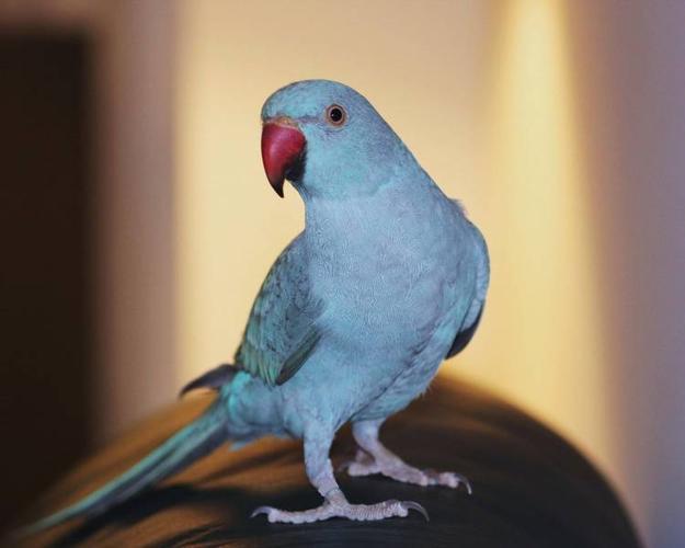 LOST / ESCAPED -------- BIRD! REWARD!