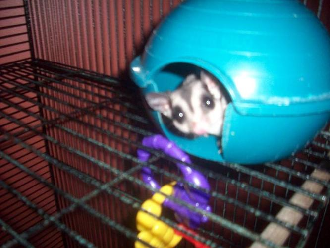 Male Sugar Glider for sale! Great deal! Comes W/ Cage!