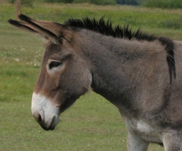 Mammoth Donkey Jennet