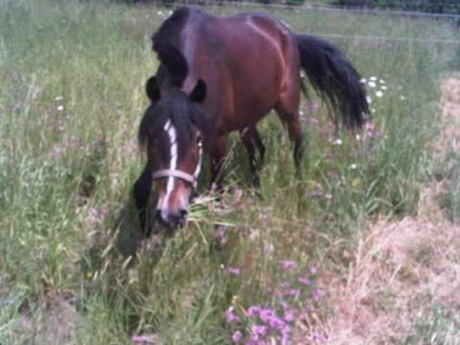Med - 4 yr old - Pony - Gelding