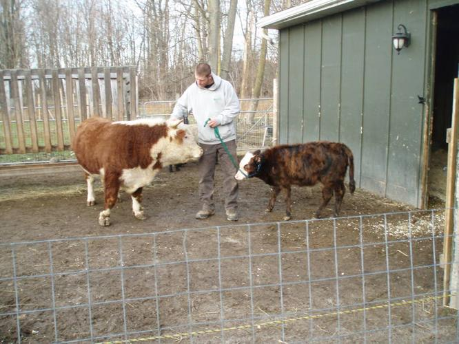 Miniature Bull Calf for sale