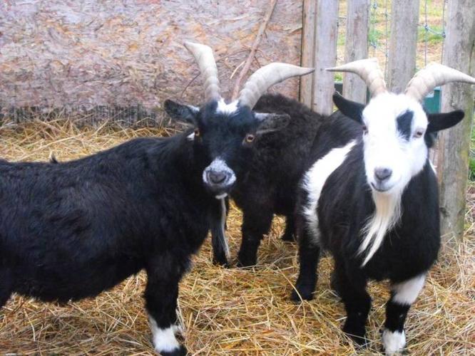 Miniture African Pygmy Goats