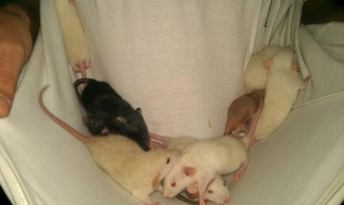 mixed Dumbo Rats