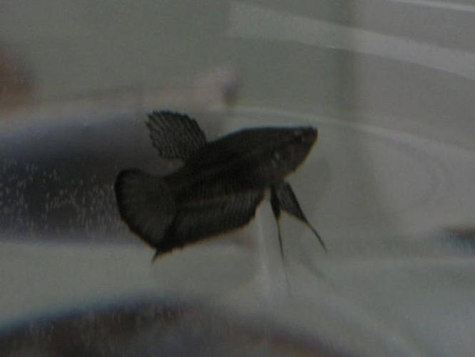 Moving, Super black OHMPK dragon betta (RARE)