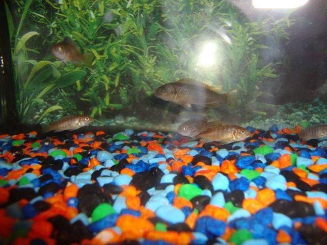 Nbumbi reptops and Hongis Cichlids