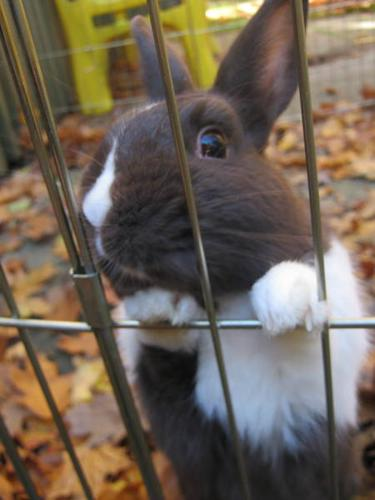*Neutered Male Rabbit for Sale New Prices*