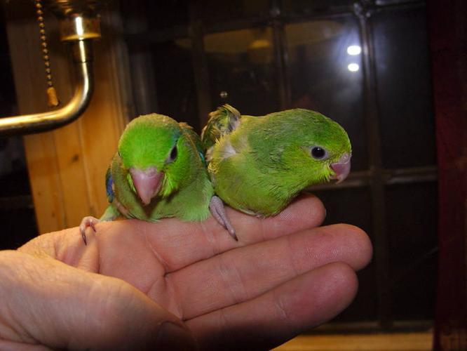 pacific parrotlets for sale