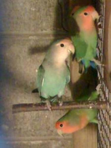 Peach faced lovebirds Up for Sale!!!!!!!