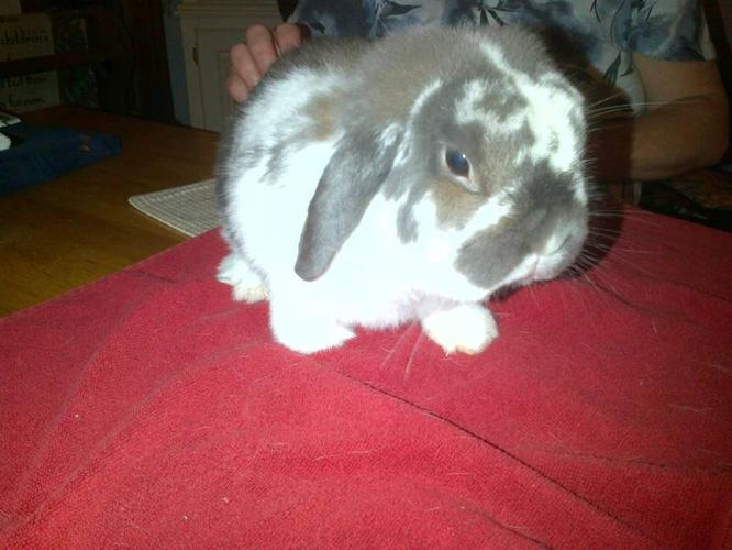 Pedigreed Holland Lop Rabbits
