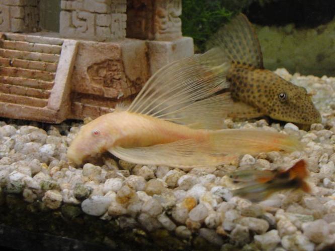 Pleco amd Breistle Nose Cat fish!