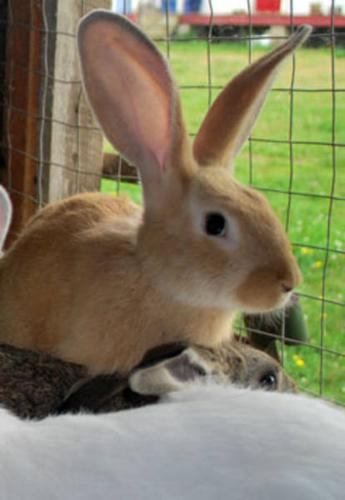 Purebred Flemish Giant Bunnies For Sale Sale 2 For 30 For Sale In Truro Nova Scotia Local Market Pets
