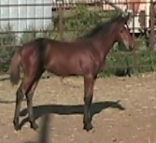 Quality Warmblood weanlings for sale !