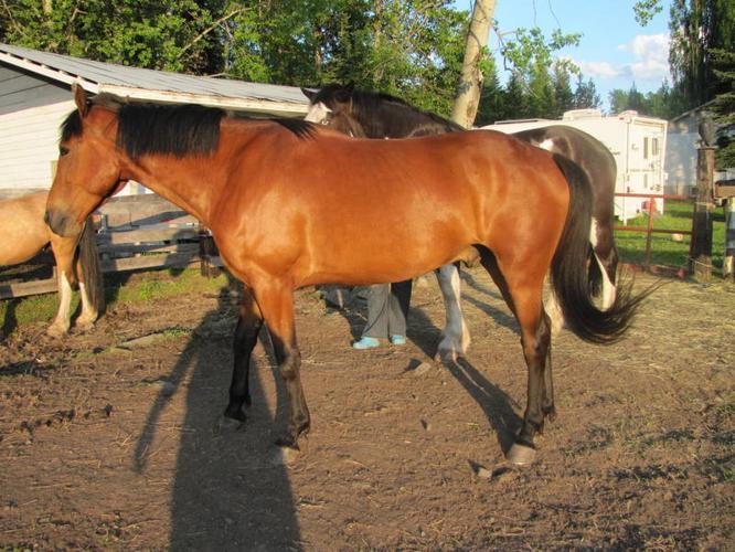 Quarterhorse/Draft Gelding 7 years old.REDUCED!!!!!