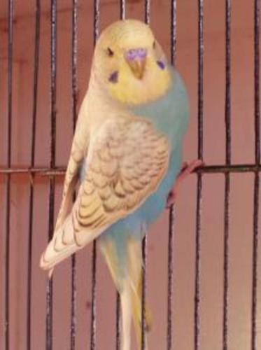 Rare Colors of Budgies (not tame)