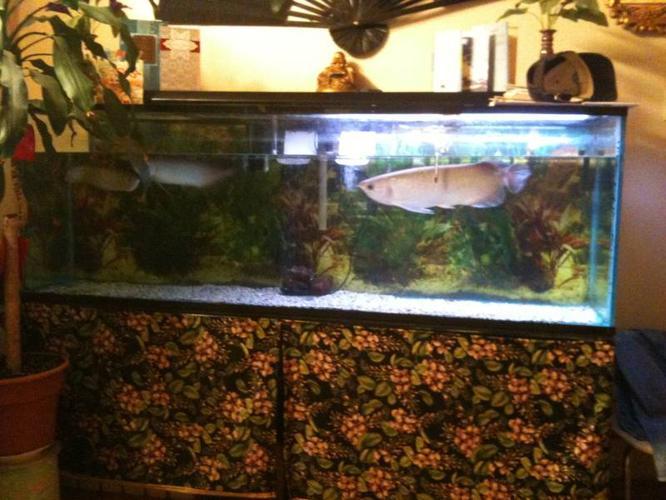 Rare Green Arowana fish for sale