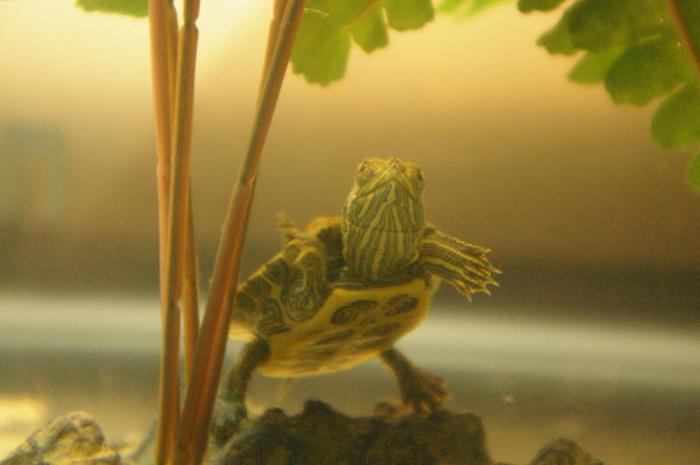 Red Eared Slider with Aquarium and food (1 year old)