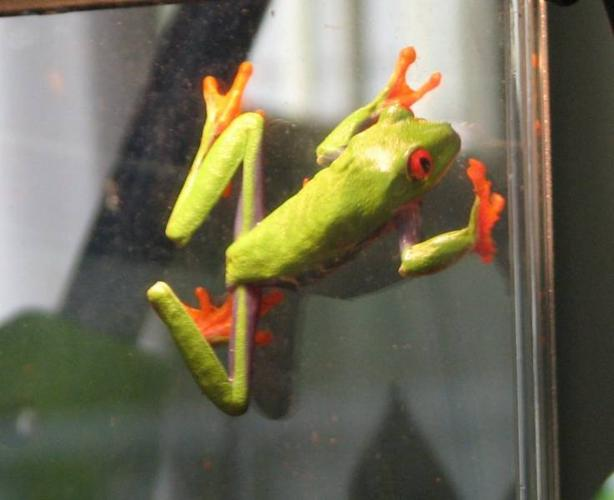 Red Eyed Tree Frog (and his home!)