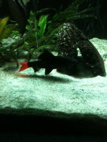 Red Tail Shark. 3 Large Bala Sharks$30. Moving Must Sell!!!!!
