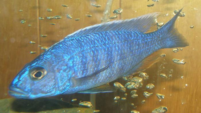 REDUCED 4 large, Hap Ahli/Electric Blue cichlids