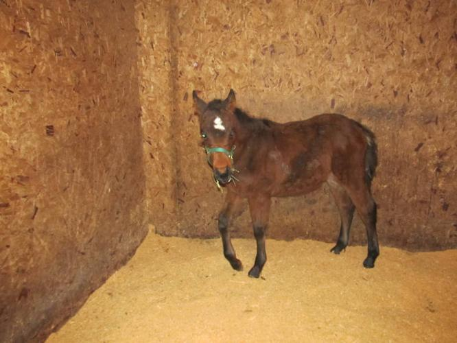 ***REDUCED*** Bay Warmblood Filly